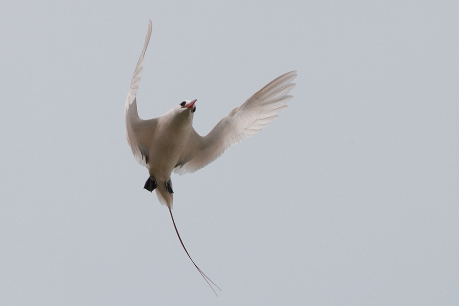 Red=-tailed Tropicbirds