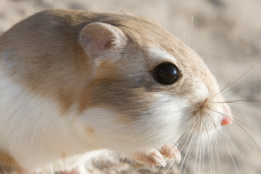 Giant Kangaroo Rat