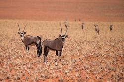 Oryx, Soussuvlei, Namibia