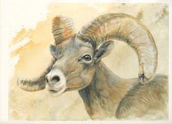 DESERT BIGHORN SHEEP_#3