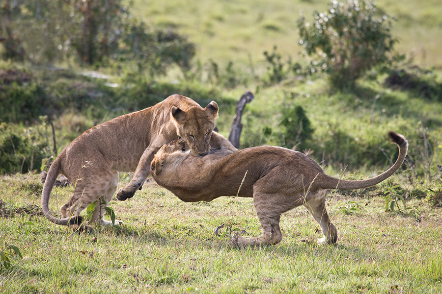 YEARLING AFRICAN LIONS