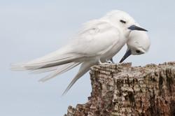 White Ternsd
