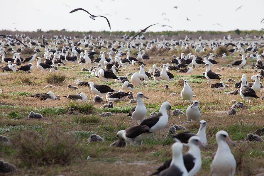 Nesting Laysan Albatross