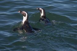 African Penguins,