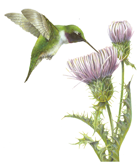 A Sip of Spring, Black-chinned Hummingbird and Mojave thistle gouache painting by wildlife artist and photographer S.K.Schafer available at skydancestudio.com