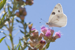 Arrowweed and Cabbage Butterfly
