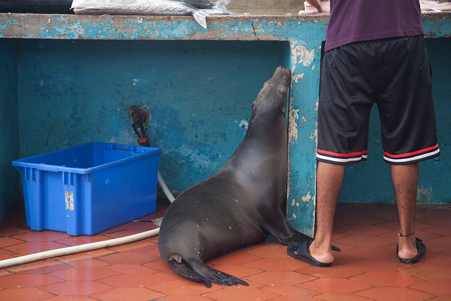 Sea Lion at the Fish Market