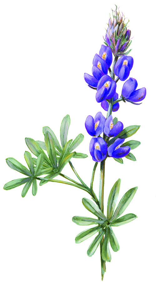 ARIZONA LUPINE