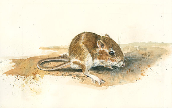 MERRIAN'S KANGAROO RAT