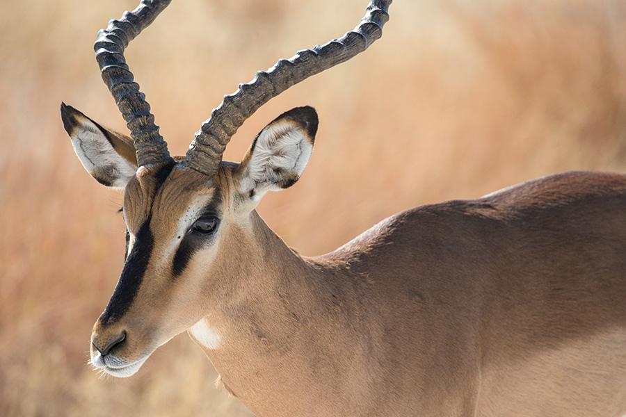 Impala, Etosha NP, Namibia