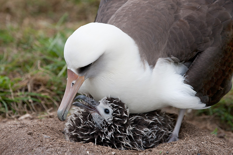 Laysan Albatross and Chick