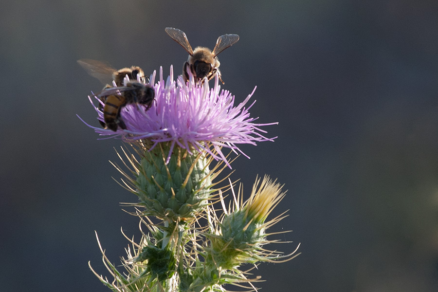 Thistle & Honey Bees