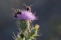Thistle & Honey Bees