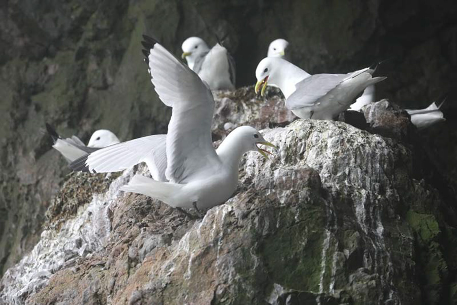 BLACK-LEGGED KIOTTIWAKES