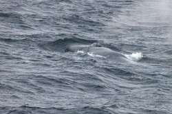 GREAT BLUE WHALE