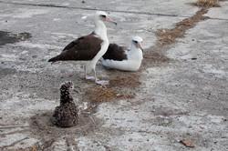 Laysan Albatross  at Nest