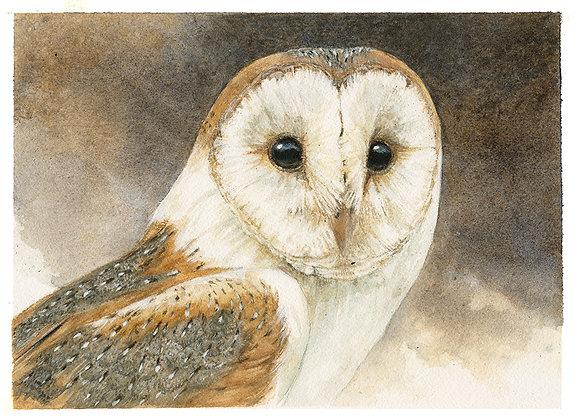 BARN OWL_Study#3