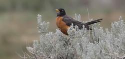 Robin in Big Sage