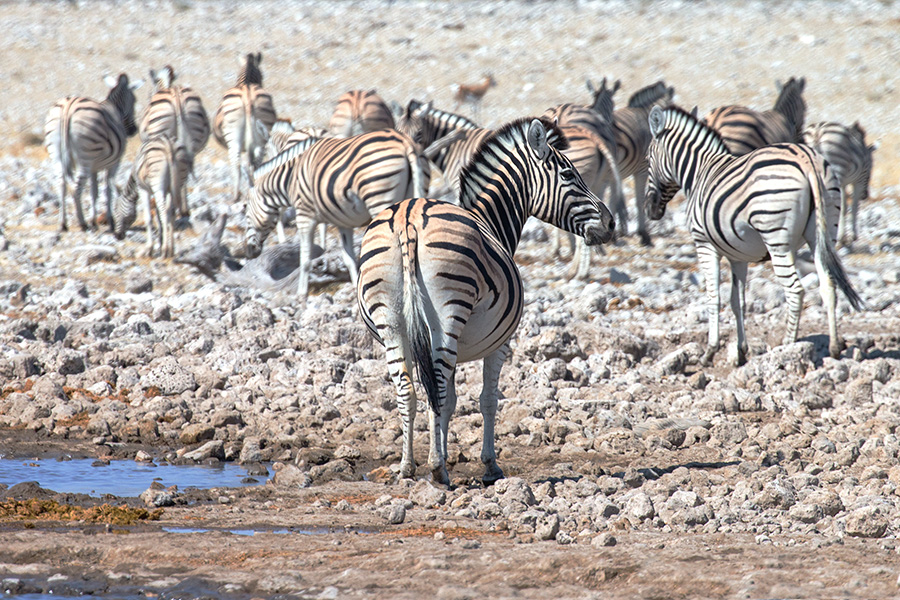 Plains Zebra, Etosha NP, Namibia
