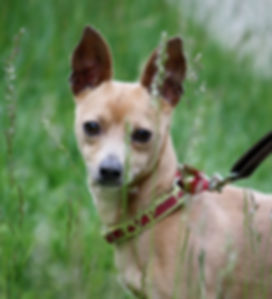 Ancho – Adopt a Small Dog – Chihuahua Mix – The Dog Squad Rescue, San Diego