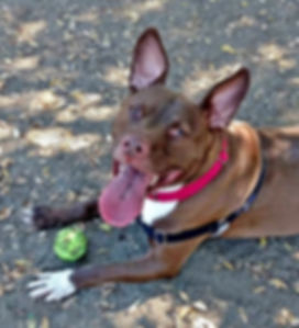 Zeus – Adopt a Fun-Loving Dog – Pit Bull / Staffordshire Terrier Mix – The Dog Squad Rescue, San Diego