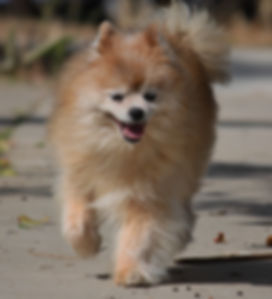 Bobby Boucher – Adopt a Senior Dog – Terrier / Chihuahua – The Dog Squad Rescue, San Diego