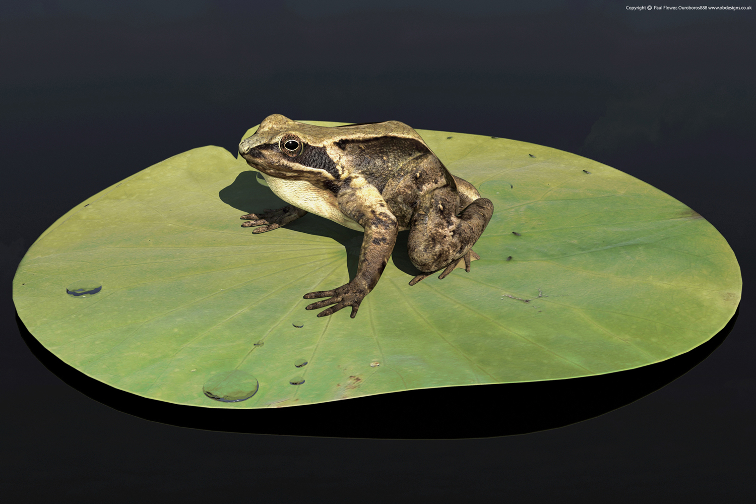 3D-Frog-on-a-Pad