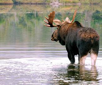 moose hunting.jpg