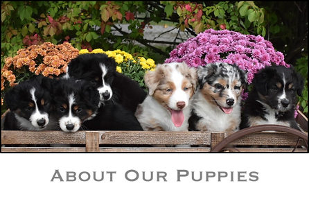 About Our Puppies.png