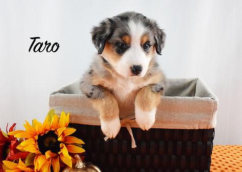 Taro 1.jpg