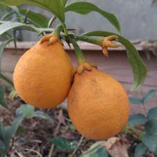 Citrangequat Thomasville
