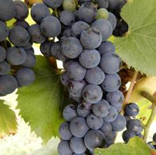 Vigne Muscat bleu