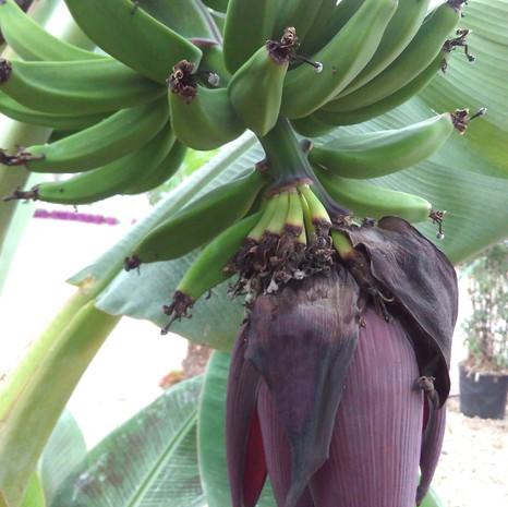 Bananier nain à fruit