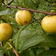 Nectarine Alberge