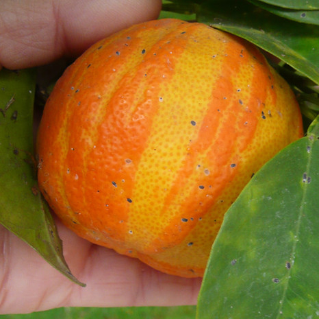 Citron meyer sanguin