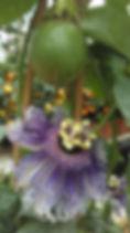 passiflora edulis (3).jpg