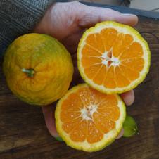 Mandarinier japonais Miyagawa