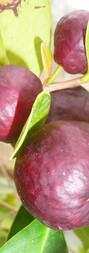 Goyave fraise