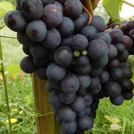 vigne Autumn Royal