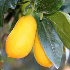 Limequat tavares