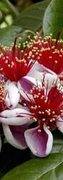 Fleur de fejoia.