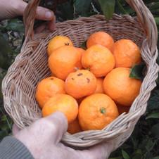 Mandarinier satsuma