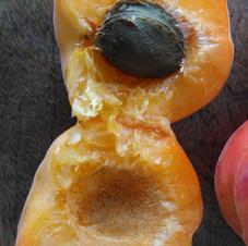 Abricot Saumur