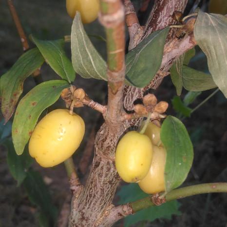Cornouiller mâle jaune