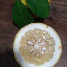 Ichang lemon shangyuan