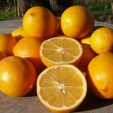Citron doux meyer
