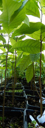 Pawpaw semis