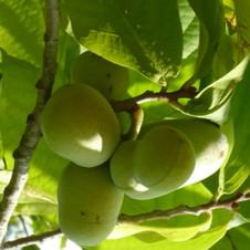 Asiminier Mango