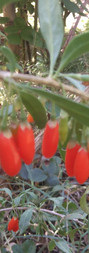 Gogi, Lycium barbarum