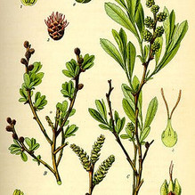 Muscade boréale